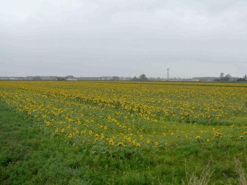 南幌フットパス・月例ウォーク:ひまわり畑