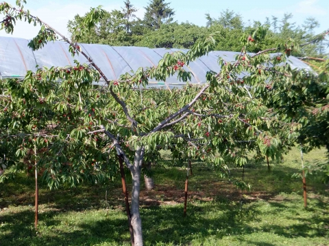 山の辺コース:りんご園